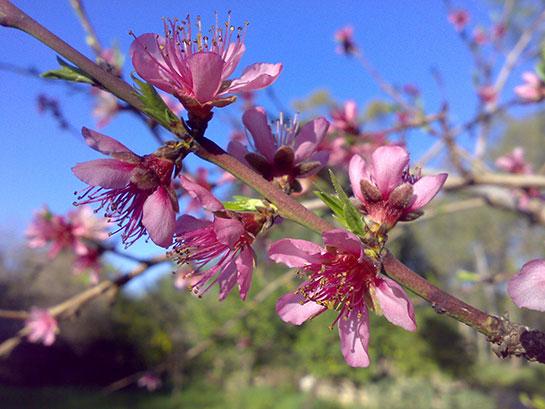 şeftali çiçeği Kullanımı Ve Faydaları Seftaligentr